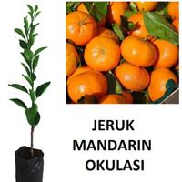 bibit tanaman jeruk mandarin hasil okulasi lebih cepat berbuah