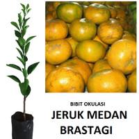 bibit jeruk medan tanaman jeruk medan okulasi lebih cepat berbuah