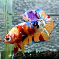 Gambar Ikan Cupang Candy
