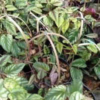 tanaman sirih merah keraton obat