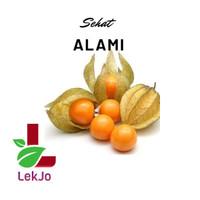 Biji buah bibit ciplukan cecenet herbal kaya khasiat