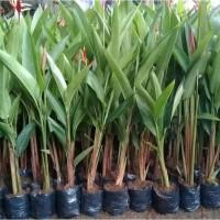 tanaman hias heliconia pisang pisangan