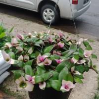 tanaman sabrina black gantung