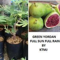 Bibit Tanaman Buah Tin Green Yordan Full Sun Pohon Tin Bibit Tin GY