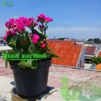 Promo Besar-besaran Tanaman hias Cocor Bebek bunga ungu - Kalanchoe