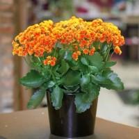 Promo Besar-besaran Tanaman hias Cocor bebek bunga orange -kalanchoe