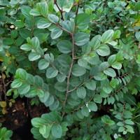 bibit bidara arab tinggi 70 cm untuk herbal dan ruqyah