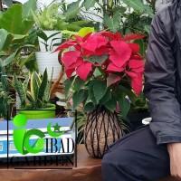 KOKEDAMA bunga KASTUBA daun MERAH | Tanaman indoor atau teduh