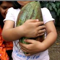 bibit mangga Mahatir buah jumbo