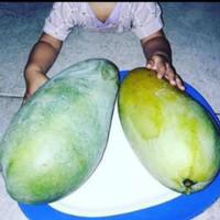 bibit buah mangga kiojay