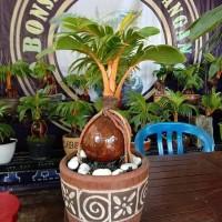 bibit kelapa nias,gading,hibrida untuk bonsai