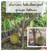 bibit tanaman durian musangking dapat berbuah dalam pot/tabulampot
