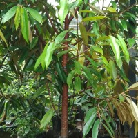 Bibit Pohon Durian Musang King Umur 3 tahun Tinggi 1.5 Meter