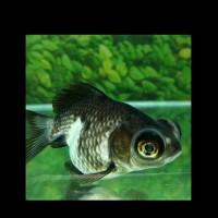 Ikan Hias Koki Panda Moor Aquarium Garansi