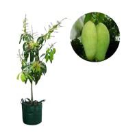 bibit tanman buah mangga golek pohon mangga golek