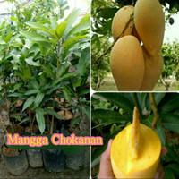 Bibit Mangga Chokanan