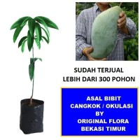 Bibit Mangga Mahathir Pohon Mangga Bibit Buah Mangga Mahatir