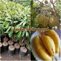 Bibit durian montong okulasi Aneka Bibit Unggul