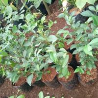 tanaman hias teh-tehan - tetehan tanaman pagar - pohon tetehan