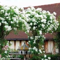 Bibit Tanaman Bunga Mawar Rambat Putih/Climbing Rose