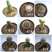 kaktus dan sukulen dengan pot 10cm dan tanah tinggal pajang k4