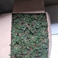 Rumput Gajah Mini Ukuran 50x50 Cm