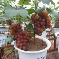 bibit biji benih tanaman buah Bonsai Buah Anggur red globe