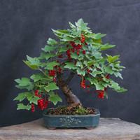 bibit biji benih tanaman buah Bonsai Buah Anggur Merah