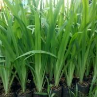 tanaman hias airis - tanaman pagar - list - bunga airis