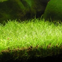 Benih Mini Hair Grass 3 ml Bibit Biji Tanaman aquascape aquarium SA003