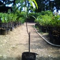 bibit mangga golek india okulasi buah super besar tinggi 1 meter