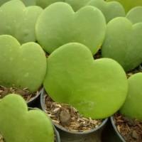 Tanaman Hias Hoya Love Sweetheart