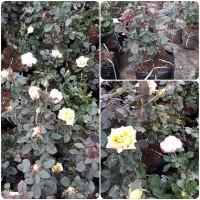 PROMO ! bunga mawar super gambar asli Bibit Pekalongan