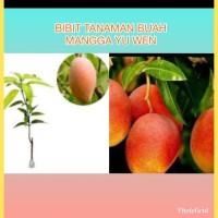 Bibit Tanaman Buah Mangga Yuwen
