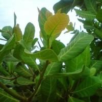Daun jambu mete/jambu mede/jambu monyet obat herbal 250 gram