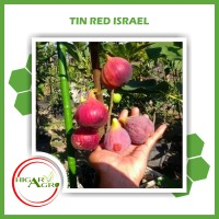 Bibit Tanaman Buah Tin Red Israel