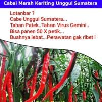 benih bibit cabe lotanbar asli biji cabe keriting unggul sumatra