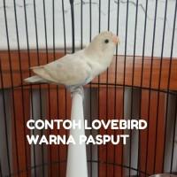 BURUNG LOVEBIRD PASPUT BALIBU/PAUD 2-3BULAN