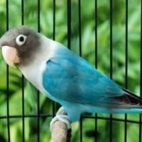 BURUNG LOVEBIRD COBALT PAUD/BALIBU 2-3 BULAN