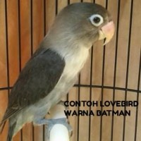BURUNG LOVEBIRD WARNA BATMAN BALIBU 2-3BULAN