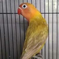 BURUNG LOVEBIRD PASLIVE PAUD/BALIBU 2-3BULAN