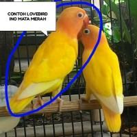 BURUNG LOVEBIRD INO MATA MERAH BALIBU 2-3BULAN