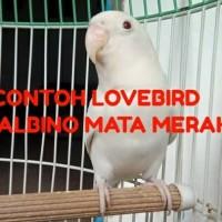 BURUNG LOVEBIRD ALBINO MATA MERAH BALIBU. 2-3BULAN