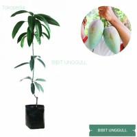 Bibit pohon buah mangga kiojay tanaman buah mangga