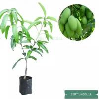 Tanaman buah mangga okyong pohon mangga