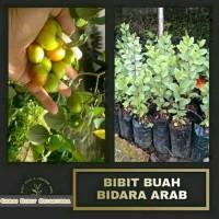 Bibit tanaman bidara arab