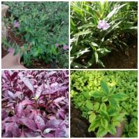 tanaman hias 4 macam - tanaman list - pagar - pohon bunga