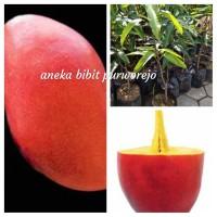 bibit tanaman buah mangga yuwen siap tanam