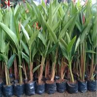 tanaman hias pisang pisangan heliconia ladydays