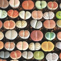 Biji Benih Bibit Lithops Mix (Living Stone)